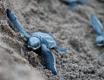 Loggerhead hatchlings on Isle of Palms