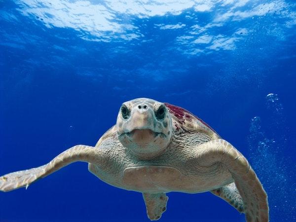 Loggerhead swimming